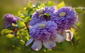 Picture lilac, clematis, Terry