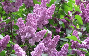 Picture flowers, spring, Lilac, flowering