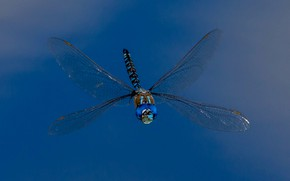 Picture wings, dragonfly, insect, Rhionaeshna multicolor, Blue-eyed Darner