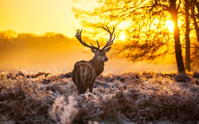 Picture forest, sunset, Deer