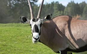 Picture Germany, Serengeti Park, Oryxantilope
