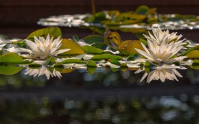 Picture flowers, petals, Lily, flowering, water Lily