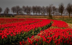 Picture field, nature, tulips