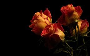 Wallpaper buds, roses, fire, black background, orange, bouquet, flowers