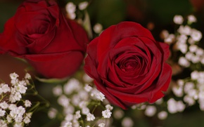 Picture roses, Duo, buds, bokeh, gypsophila