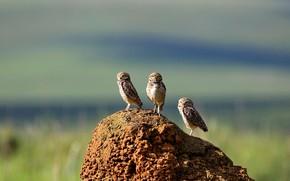 Picture owl, bird, Brazil, burrowing owl, mound, Serra da Canastra