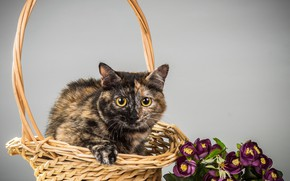 Picture cat, cat, background, basket, kitty