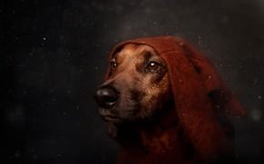 Wallpaper drops, eyes, bokeh, look, dog, portrait