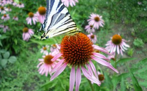 Picture butterfly, July, Echinacea