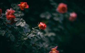 Picture flowers, Bush, roses, petals, buds