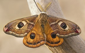Picture butterfly, Emperor moth, Saturnia
