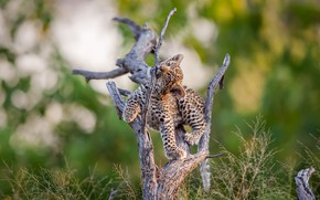 Picture nature, tree, leopard