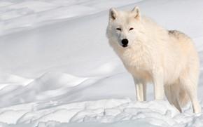 Picture winter, white, the sun, snow, wolf, predator, the snow