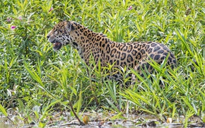 Picture thickets, predator, Jaguar, wild cat, The Pantanal