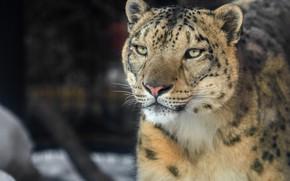 Picture look, face, Snow leopard, wild cat, IRBIS, Snow leopard