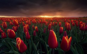 Picture field, the sky, clouds, light, sunset, flowers, clouds, the evening, Spring, Netherlands, Fiery tulips