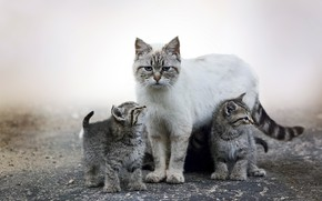 Picture animal, cute, kittens, mist, puppies, fur, ears, muzzle, Cats, whiskers, mother, feline