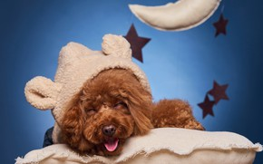 Picture smile, dog, pillow, doggie, Poodle