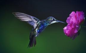 Picture flower, background, beak, Hummingbird