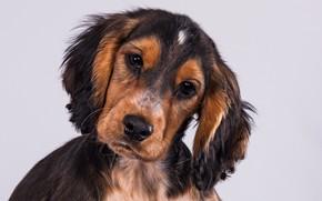 Picture look, background, portrait, dog, puppy, face, Cocker Spaniel