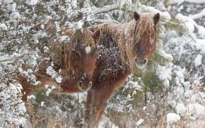 Picture winter, snow, horses, horse