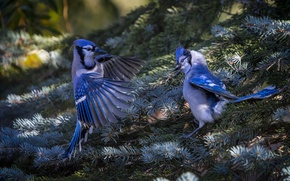 Picture birds, branches, nature, spruce, pair, needles, jays