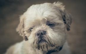 Picture sadness, each, dog, Shih Tzu