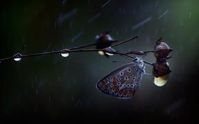 Wallpaper drops, butterfly, rain, branch, macro