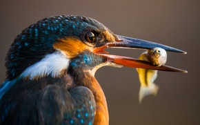 Wallpaper macro, bird, fish, beak, Kingfisher, catch