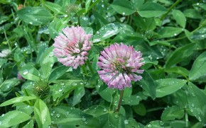 Picture greens, grass, flowers, rain, clover, raindrops