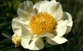 Picture petals, cream, peony