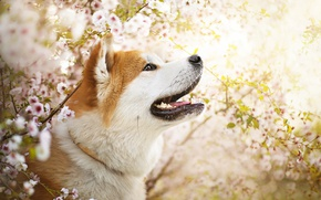 Picture flowers, dog, spring, Ame