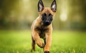 Picture look, dog, puppy, bokeh, Belgian Malinois