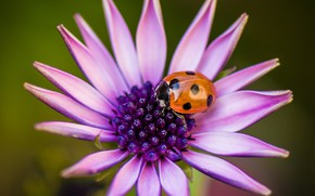 Picture flower, ladybug, petals, insect