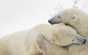 Picture fur, polar bear, North, Arctic