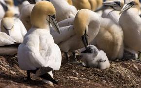 Picture birds, beak, chick, the Northern Gannet