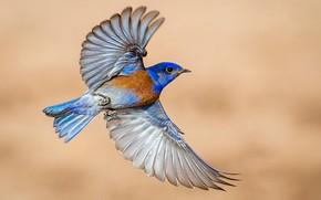 Picture bird, wings, Western sialia
