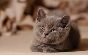 Wallpaper looks, fluffy, kitty