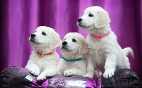 Picture puppies, Labrador, ribbons, Retriever
