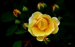 Picture yellow, rose, buds