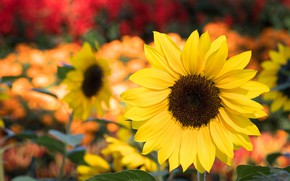 Picture summer, Flower, Sunflower, flowering