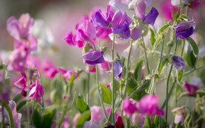 Picture summer, pink, sweet peas