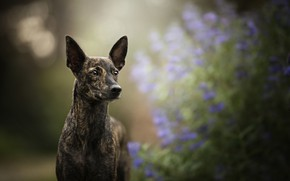 Picture each, dog, ears