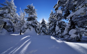Picture Nature, Winter, Snow, Spruce