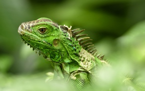 Wallpaper lizard, iguana, bokeh, green iguana