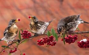 Picture birds, berries, background