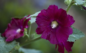 Picture summer, flowers, flowering, mallow