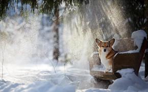 Picture winter, rays, snow, dog, doggie, Welsh Corgi