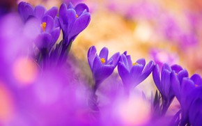 Picture macro, spring, crocuses, saffron