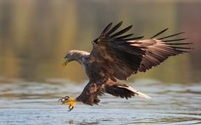 Wallpaper Orlan, predator, birds